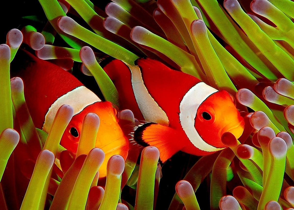 """Clownfish are another fish whose popularity soared due to """"Finding Nemo."""""""