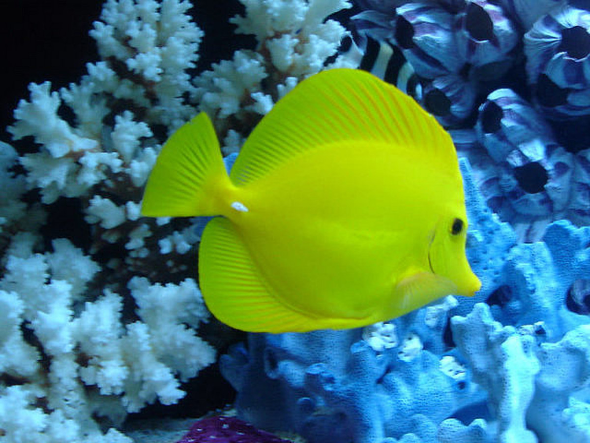 The beautiful daffodil color of these fish actually fades a bit in the evenings.