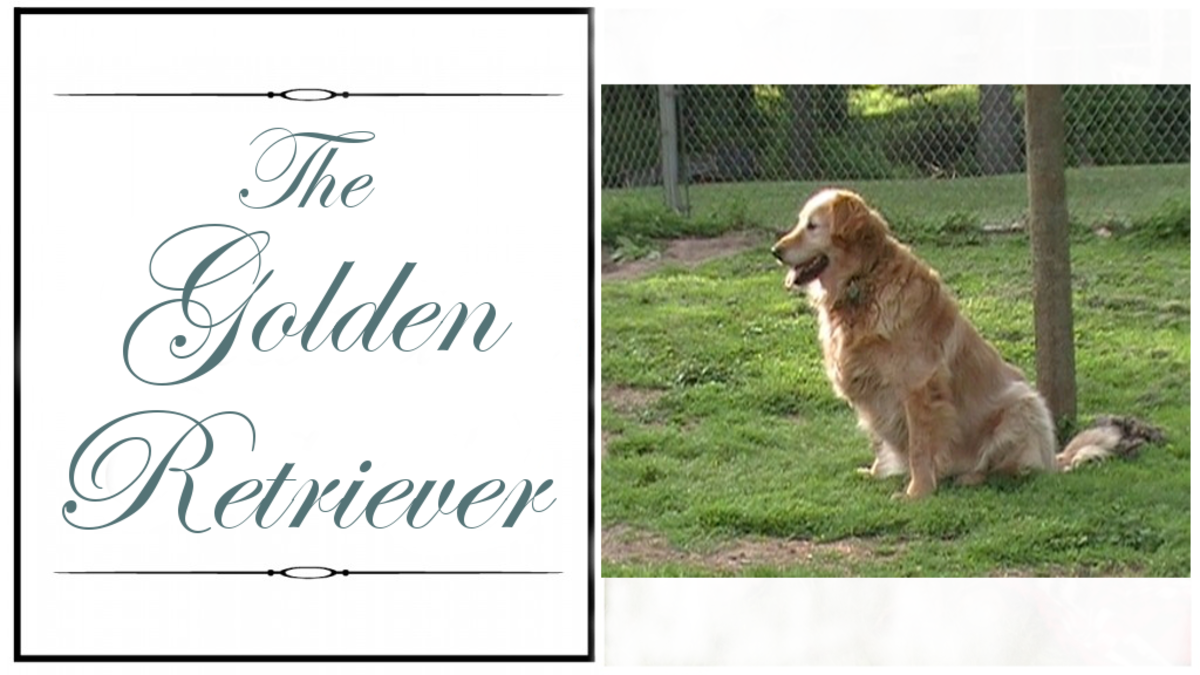 Author's Golden Retrieve - Amber