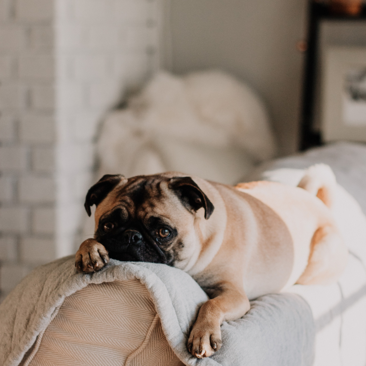 Dogs like the Pug are prone to trauma and often present with red eyes.