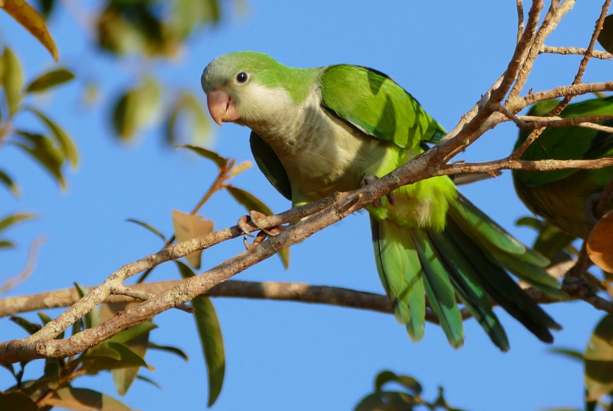 "The Monk or Grey-headed Parakeet is the only parrot that does not nest in big holes. Instead it builds a bulky nest out of sticks, sometimes working with others to build ""apartments"" with several chambers."