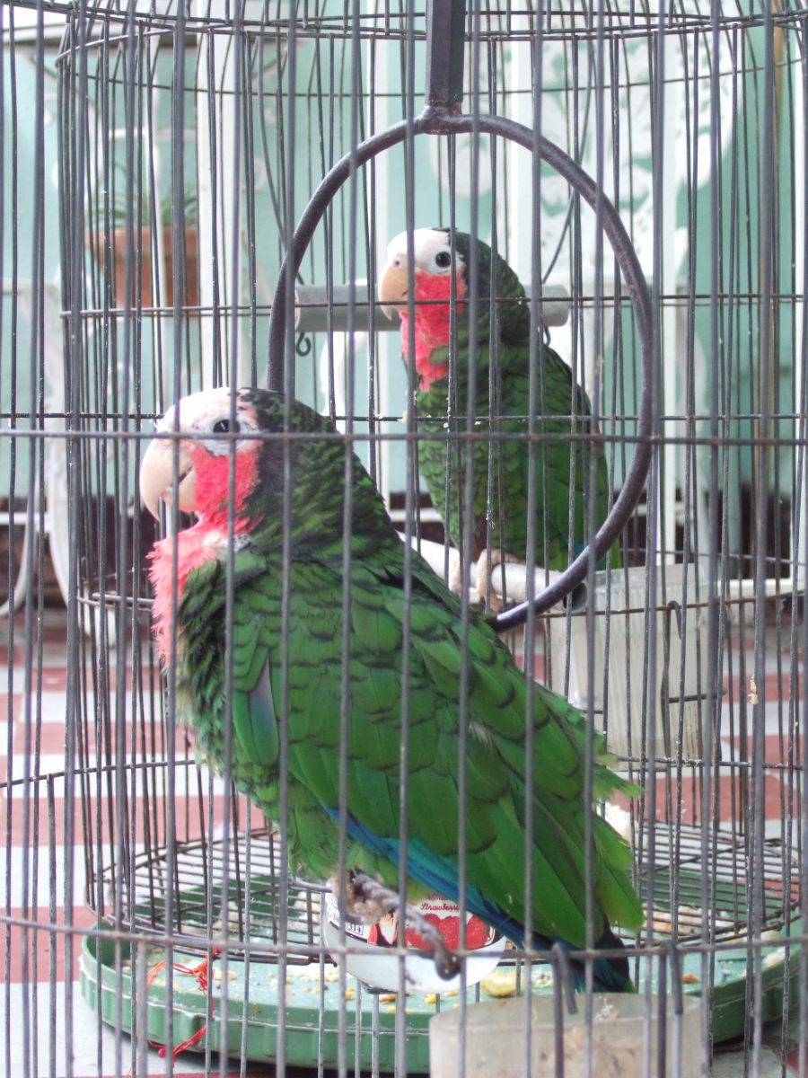 Caged Cuban Amazons. These smart, social birds are favorite pets in many countries, although importation is now banned internationally.
