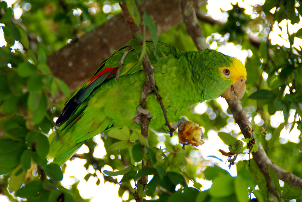 Note how the parrot's feathers blend in with the bright green leaves of this tropical tree where it forages. In a native tree from Southern California, which tend to have grey-green smallish leaves, the parrot would easily be seen by predators.