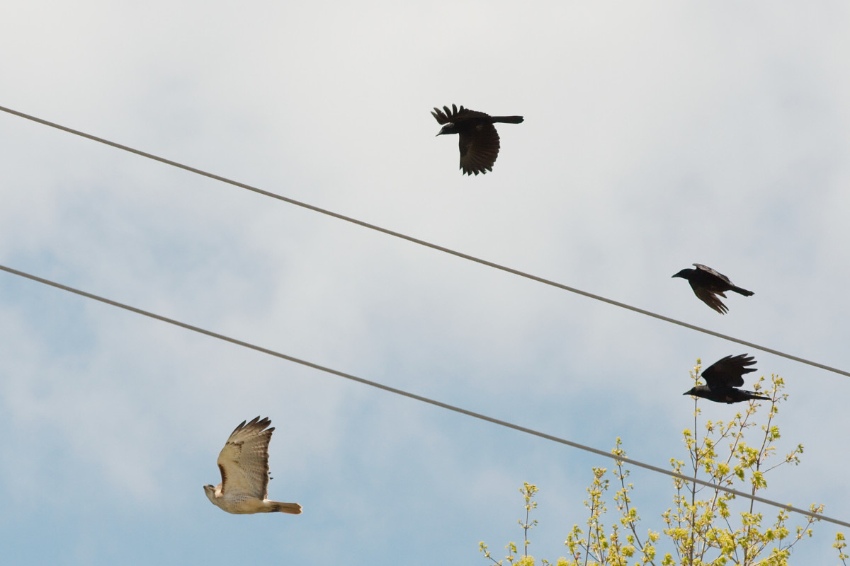 """Banding together against predators is called """"mobbing.' Here crows are mobbing a red-tailed hawk, but parrots do the same thing."""