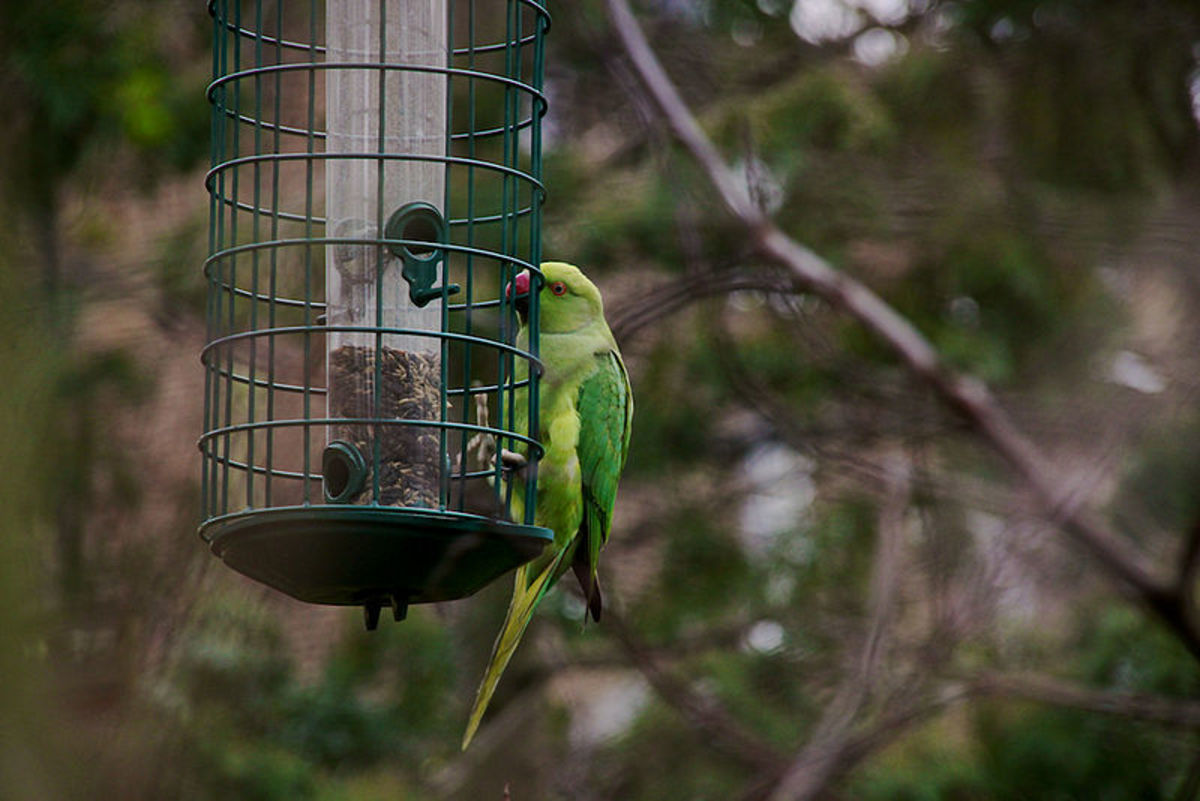 A few parrots, if you feed them the right thing, will eat from bird feeders.