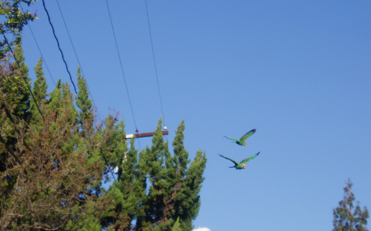 Parrots certainly aren't replacing native birds by taking up air space.
