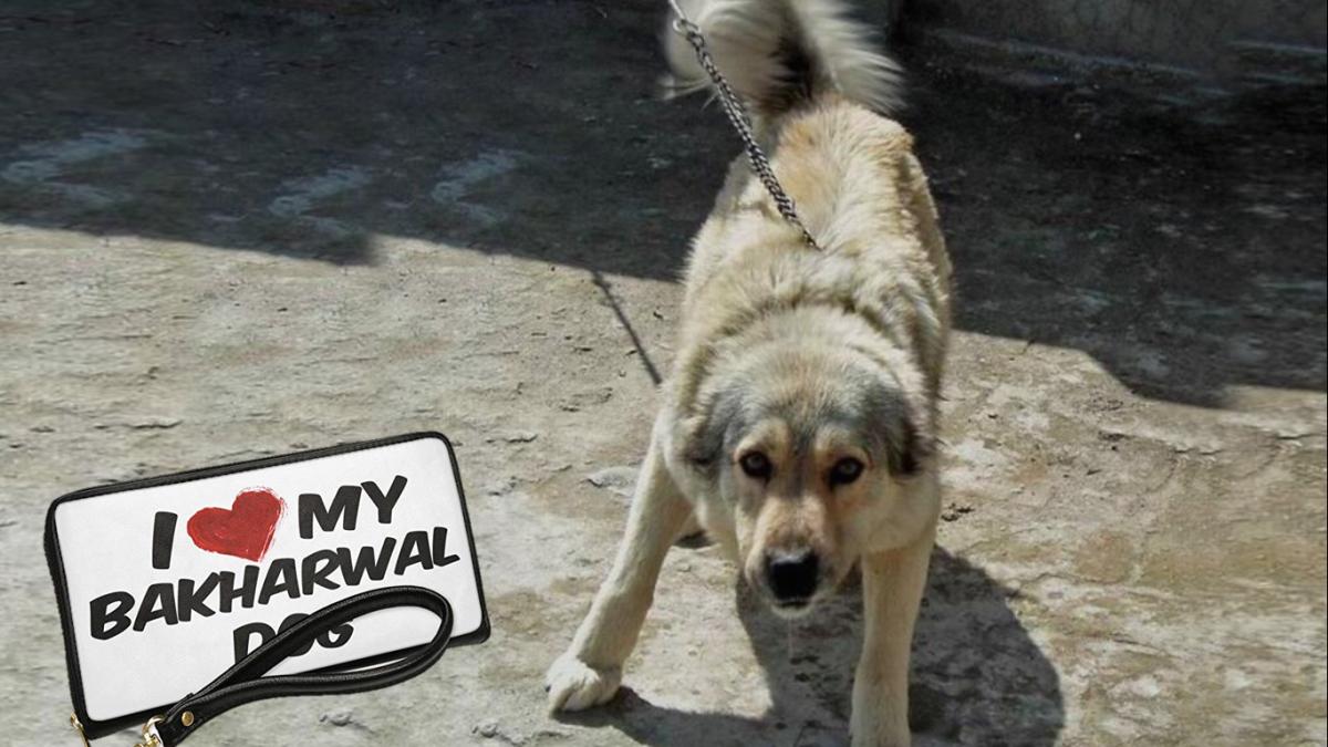Kashmir Sheepdog or Bakharwal Mastiff