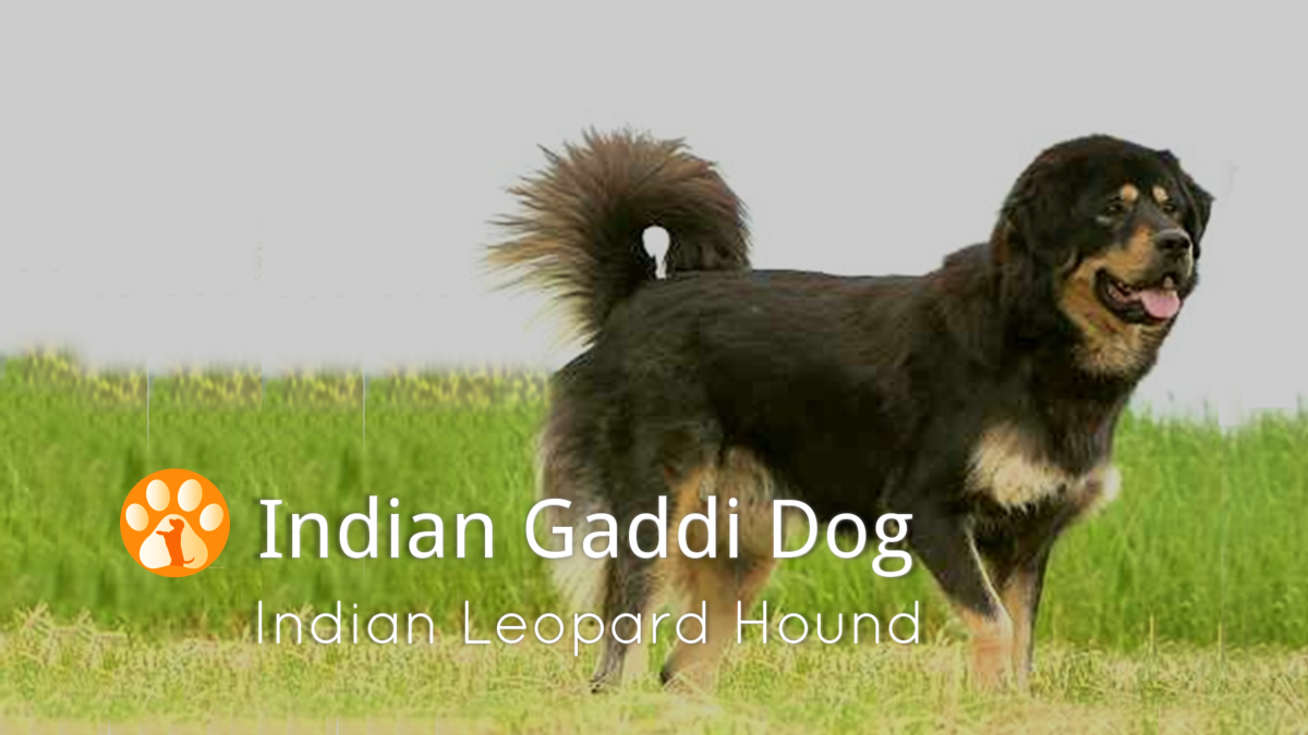 Indian Gaddi Mastiff
