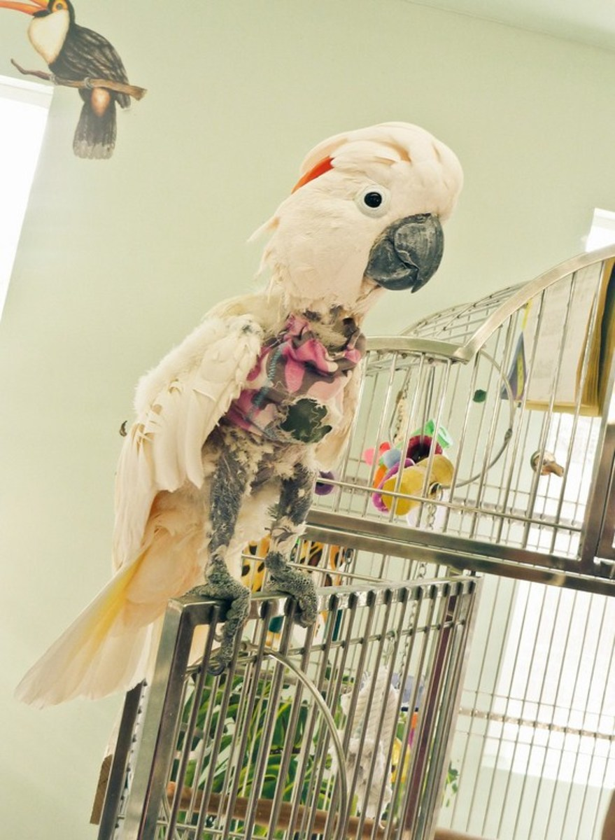 Unfortunately, feather-picking is a common stress-induced response with certain captive parrots.