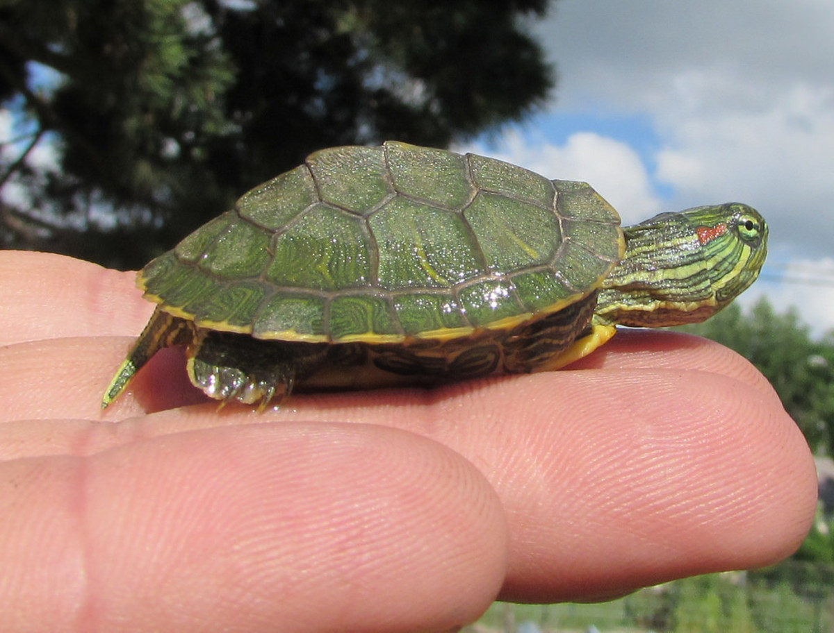 Illegal size baby turtle