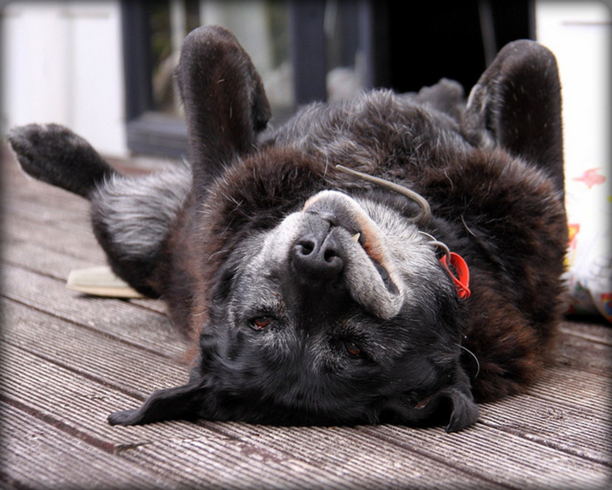 Even though your dog is getting older, he or she may still enjoy a short romp or roll.