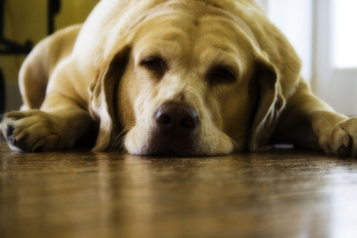 Being overweight makes your dog feel sluggish so he doesn't exercise as much. Lack of exercise cause overweight - a vicious cycle.