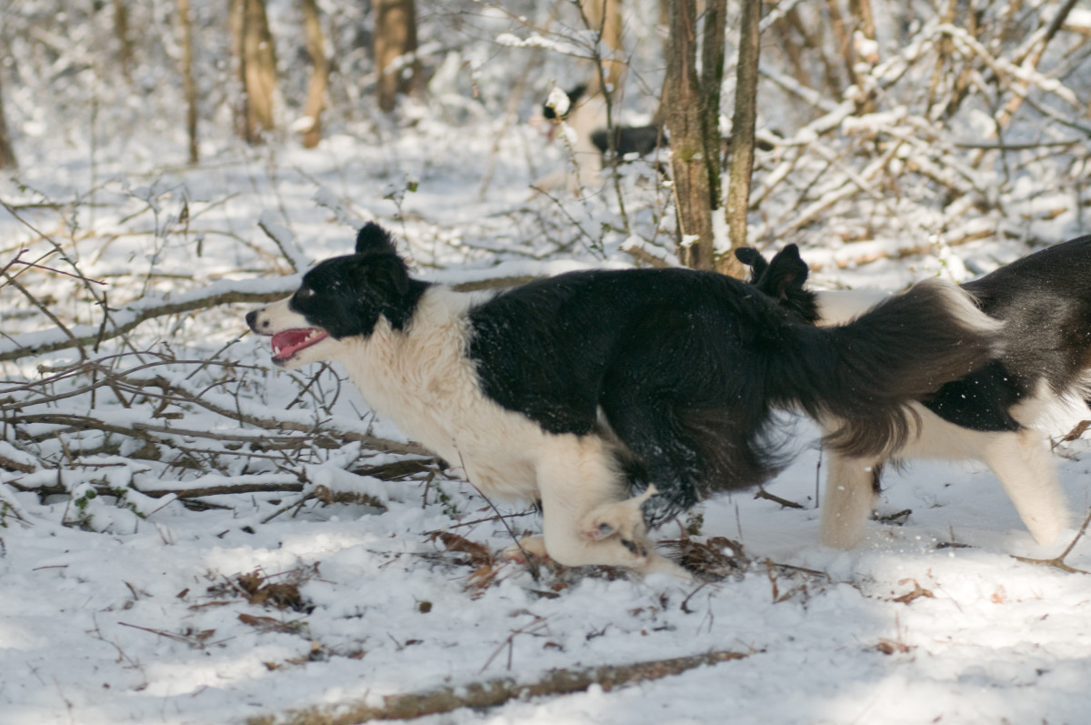 A healthy Border Collie running.