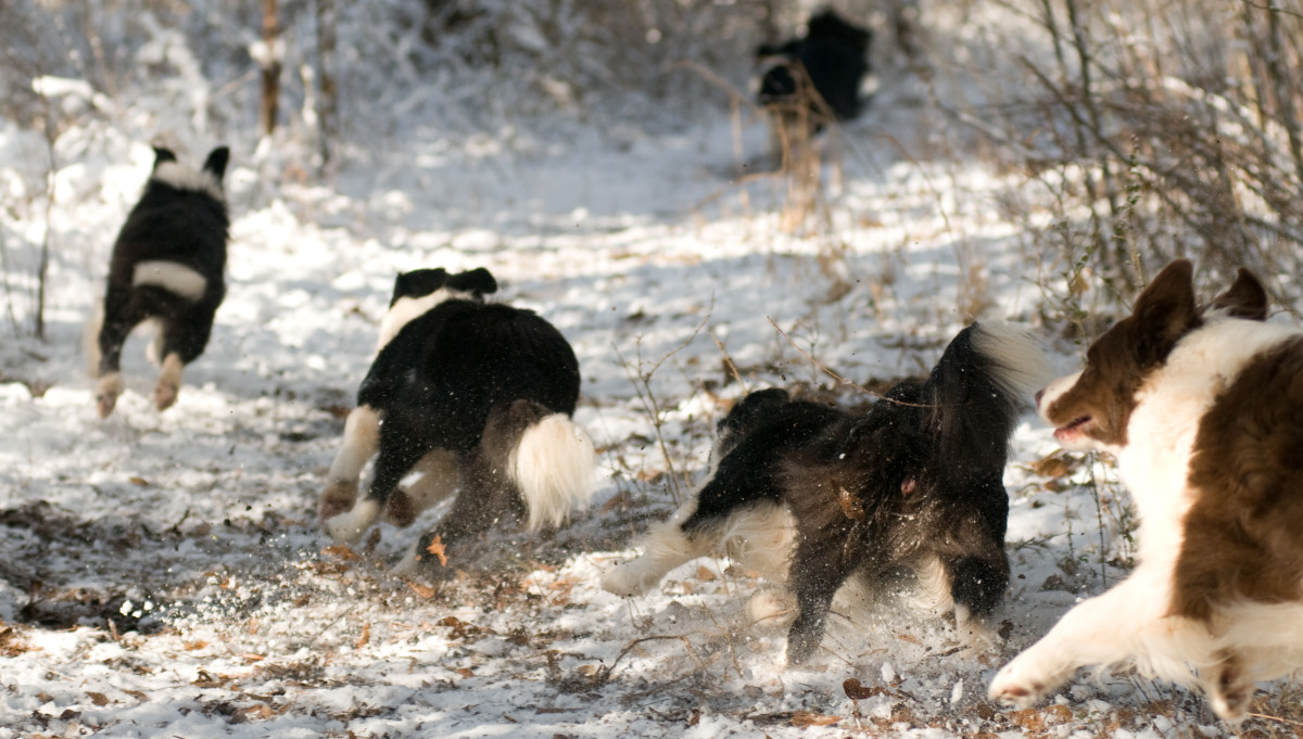 Ruby joining in the Border Collie games again.