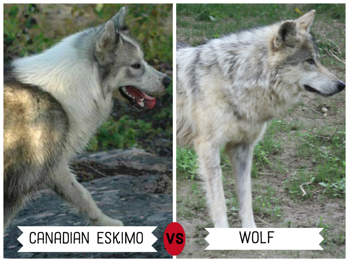Canadian Eskimo Dog (left)