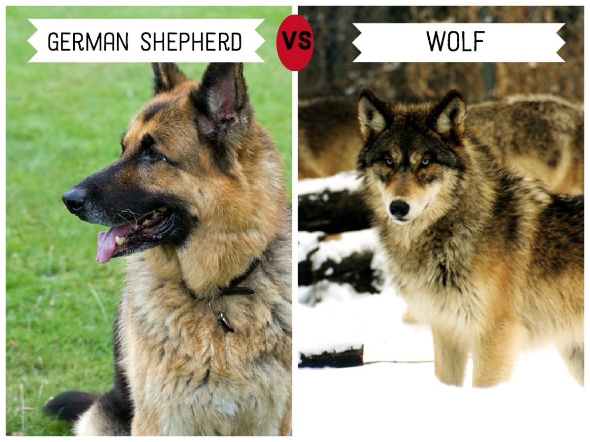 German Shepherd (left)