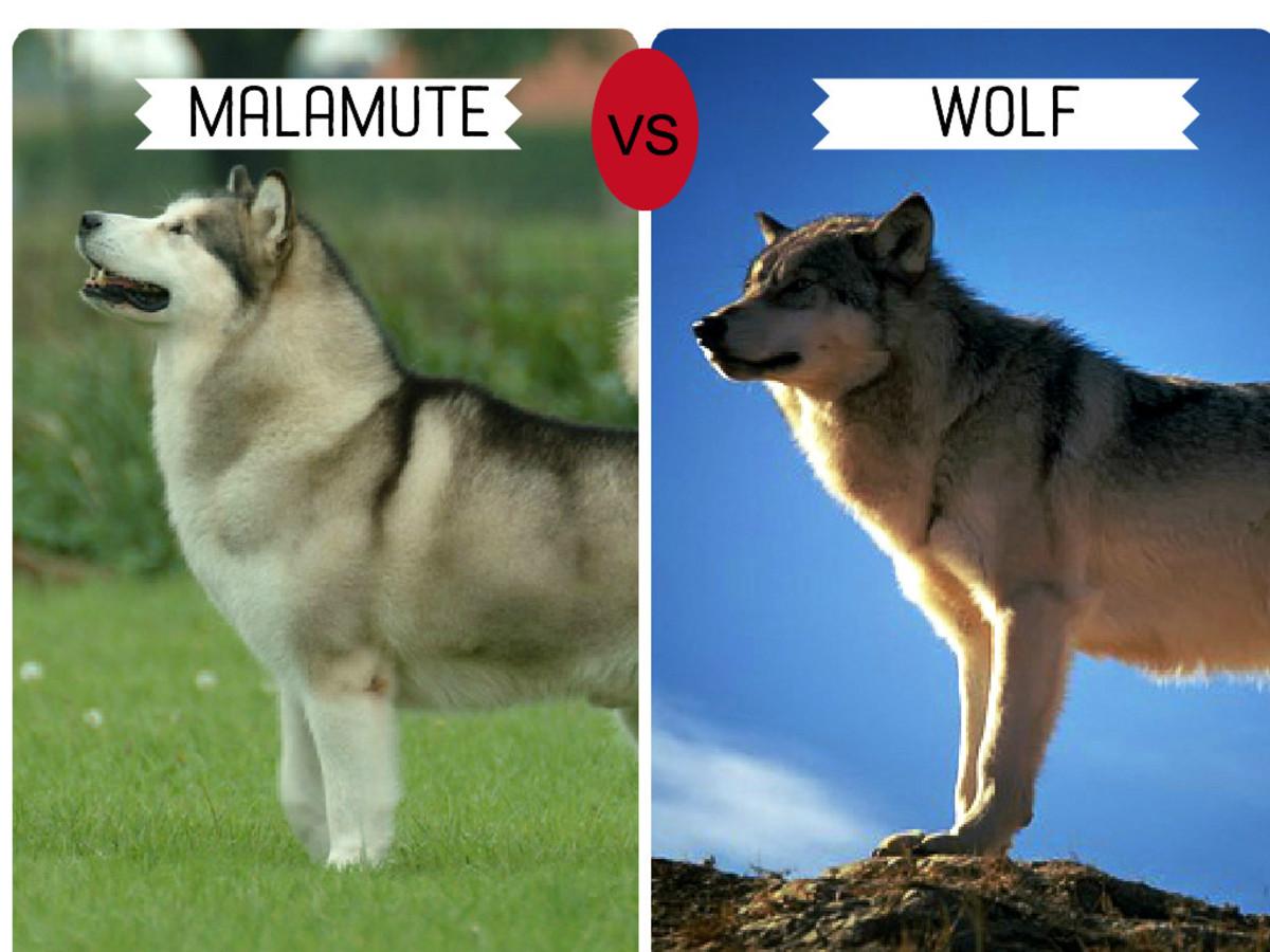 Alaskan Malamute (left)