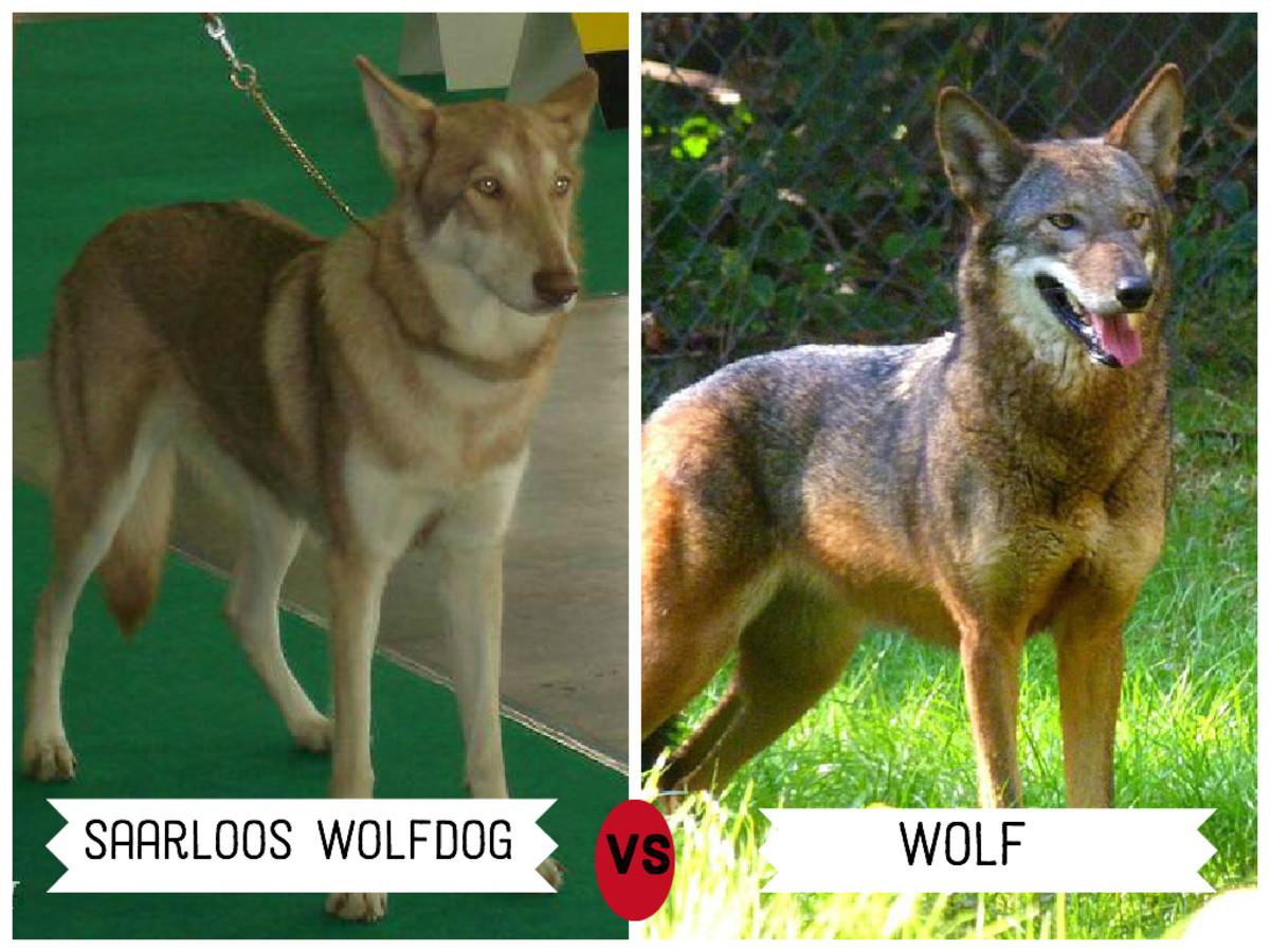 Saarloos Wolfdog (left)