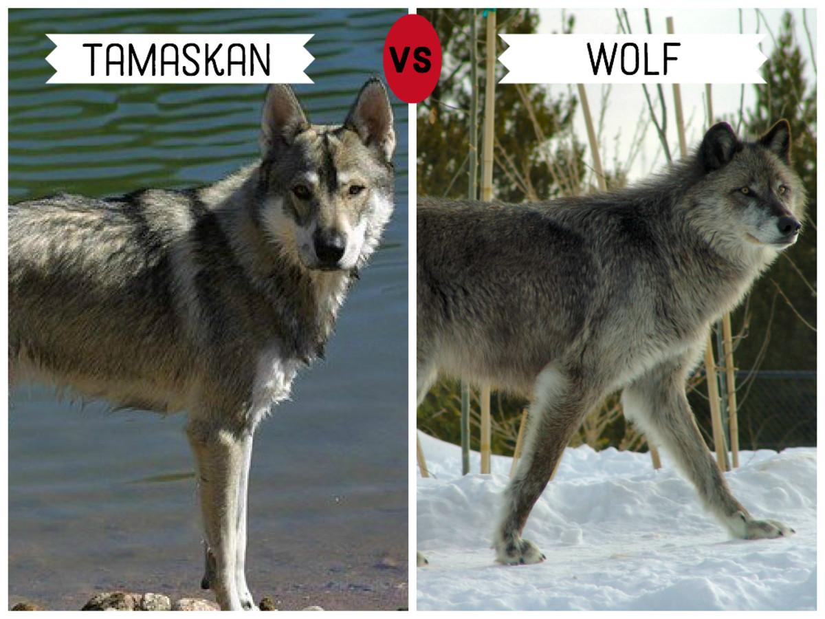 Tamaskan (left)