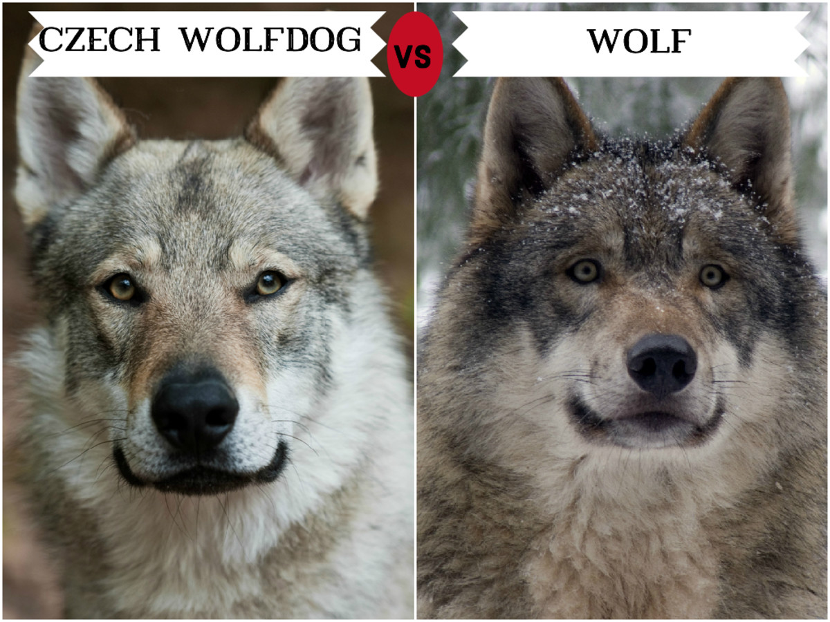 Czechoslovakian Wolfdog (left)