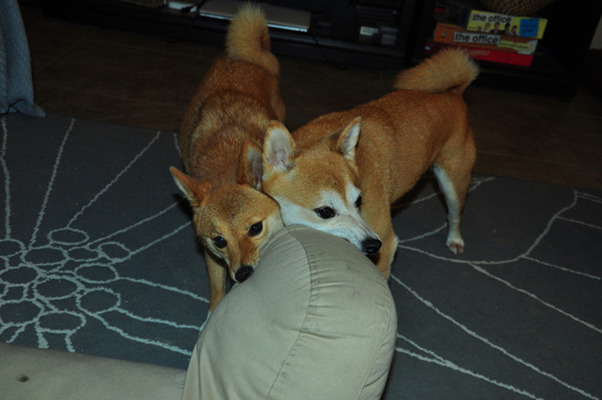 Dogs suffering from separation anxiety may destroy household property.