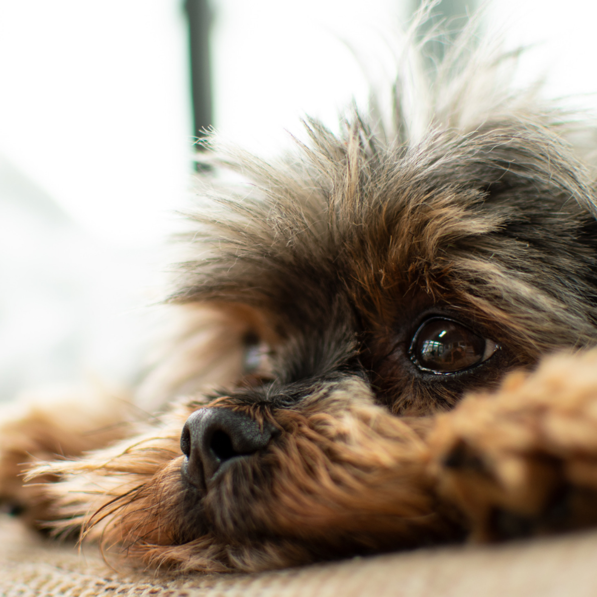 Dogs may refrain from urinating after surgery for numerous reasons.