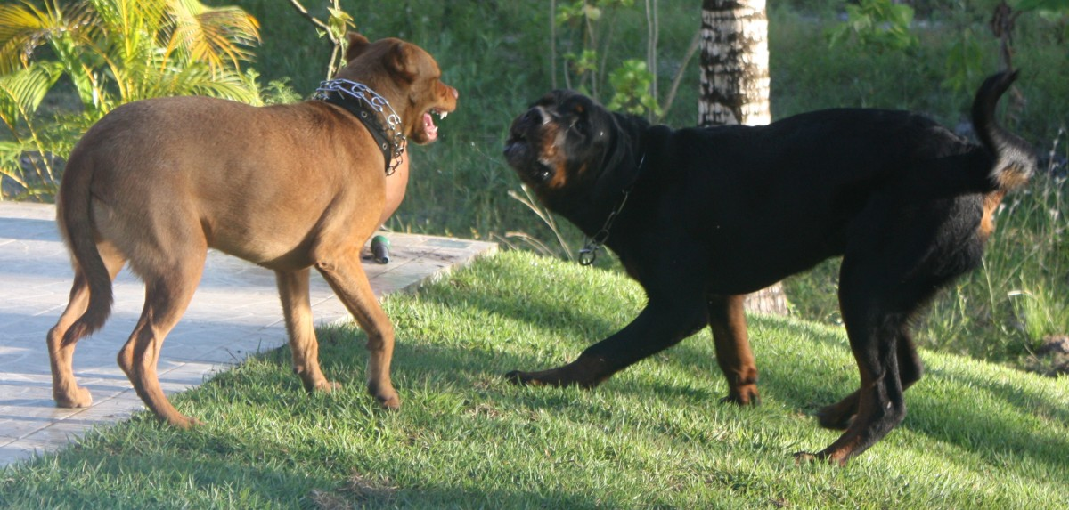 A female dog can growl and snap at a male; this is not considered aggression.