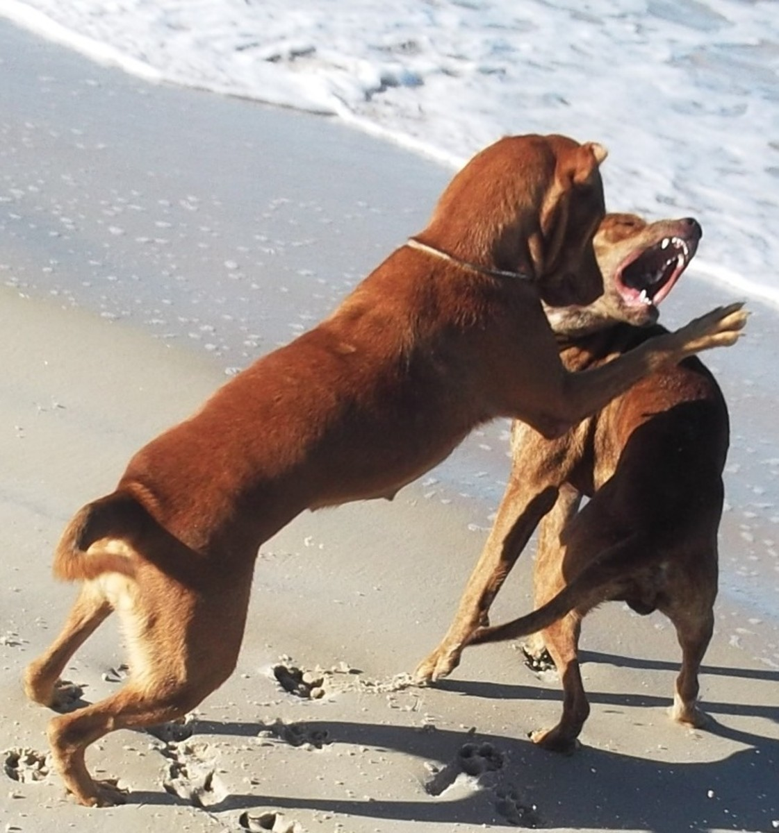 When dogs from the same home use dominant behavior during play, aggression can get out of control.