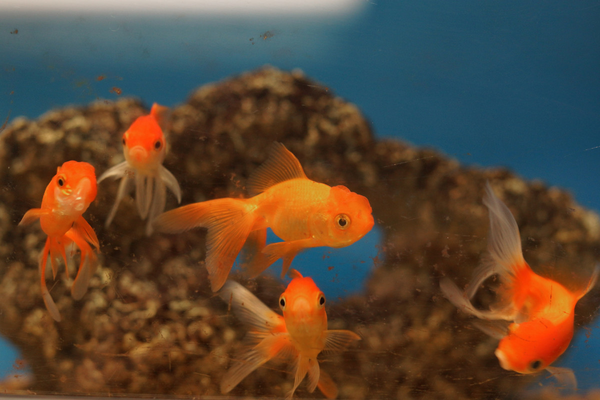 Goldfish are not good tank mates for betta fish for many reasons.