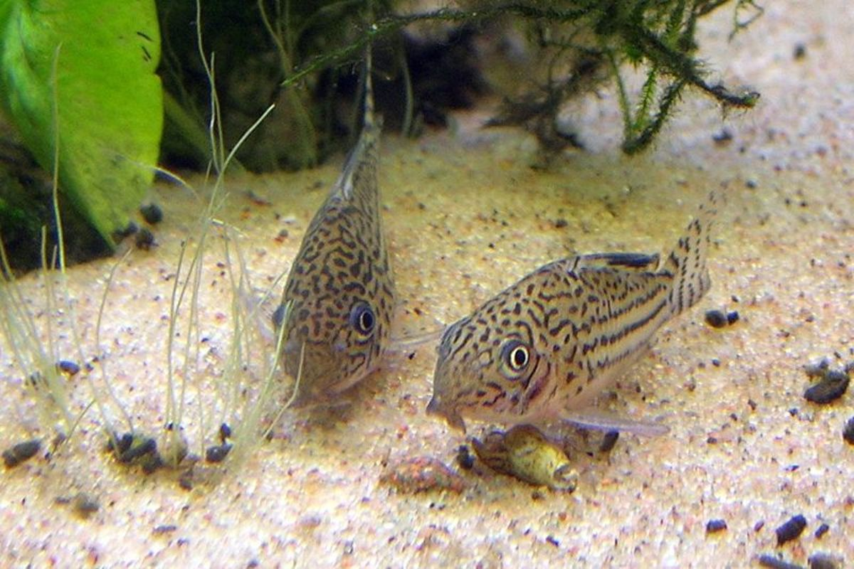 Cory Catfish are bottom dwellers that help to keep the tank clean.