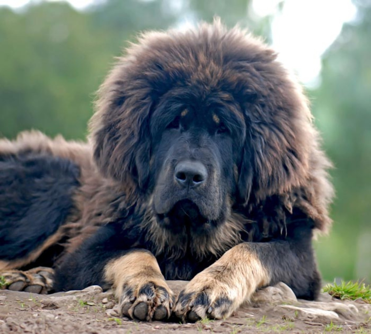 Tibetan mastiffs' coloring can vary, but they tend to be very large and have long coats.