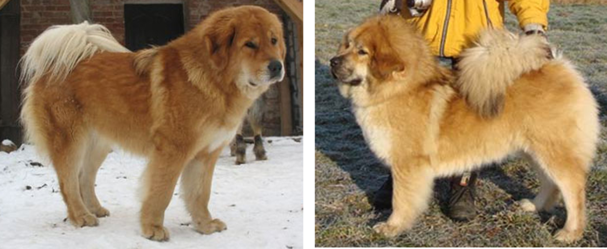 Bhutia sheepdogs were bred originally to defend livestock.