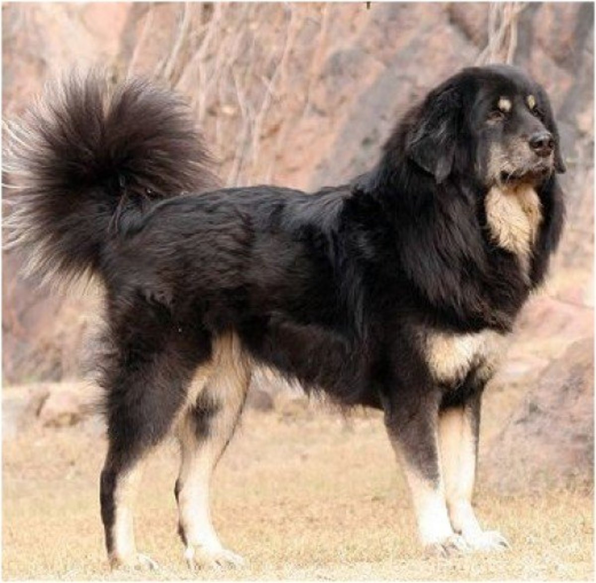 Small Dog Native To Tibet A Good Guard Dog
