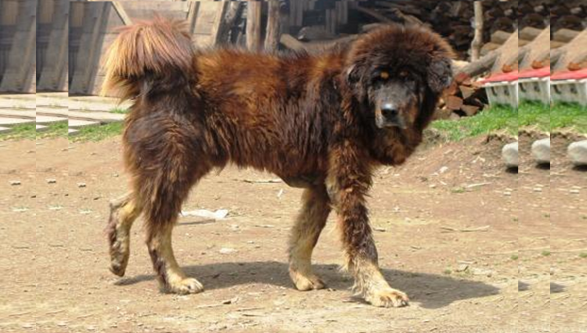 Bakharwal mastiff were bred originally to defend the livestock of the Gujjar people.
