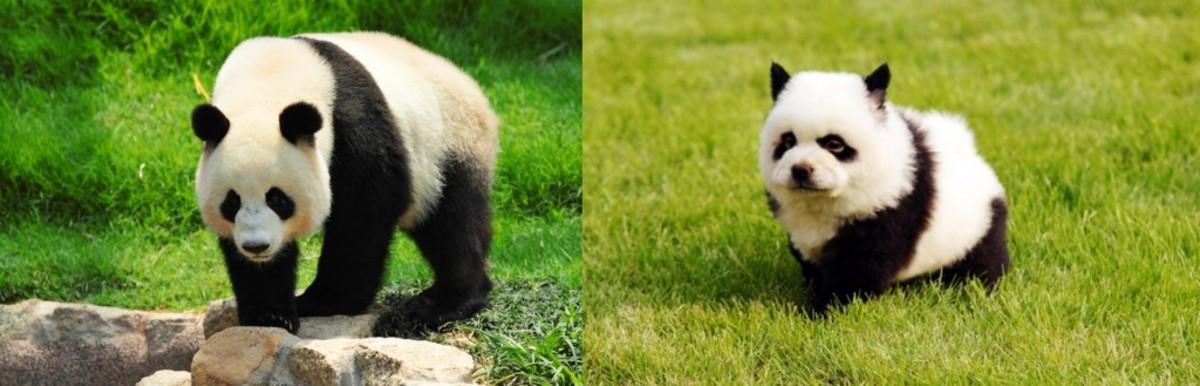 Panda vs Dog Panda