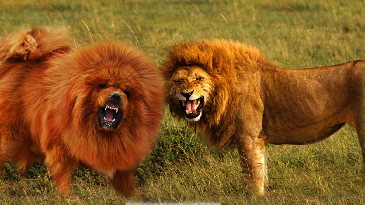 Tibetan mastiff compared to a lion.