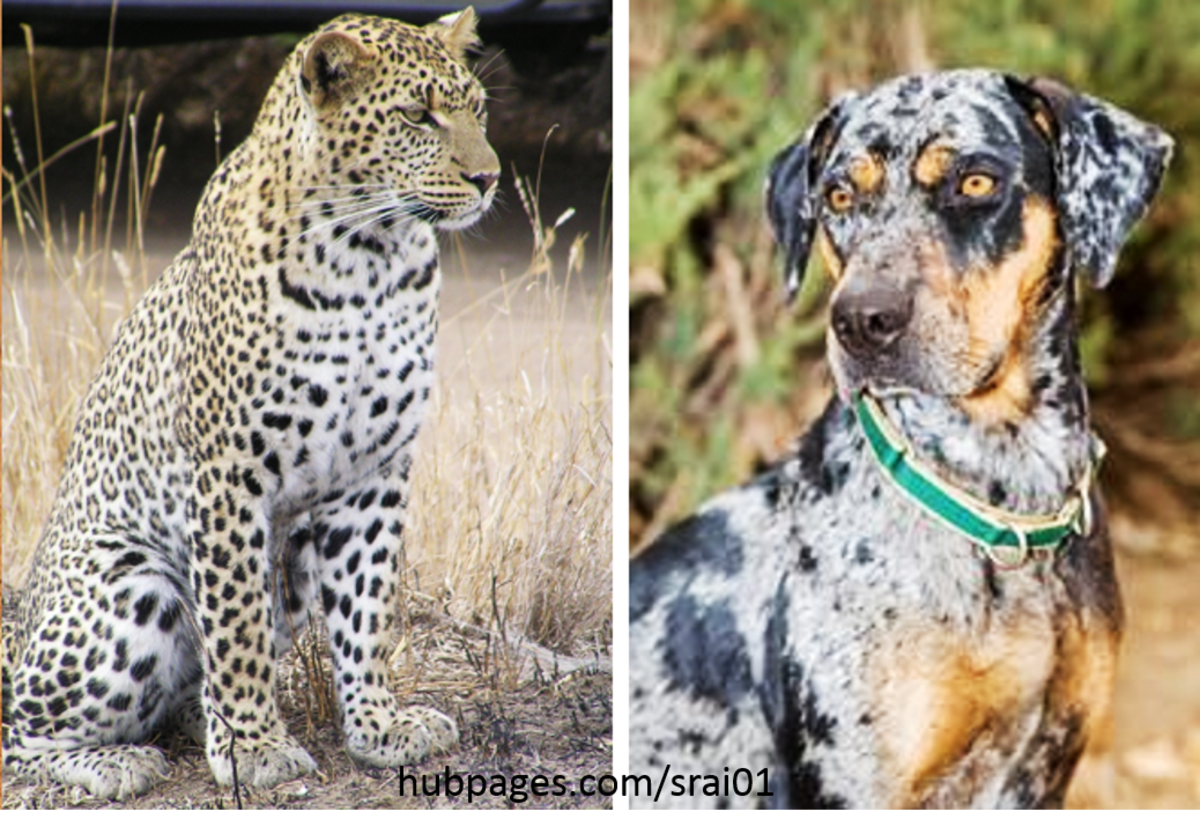 Leopard vs  Louisiana Catahoula Leopard Dog