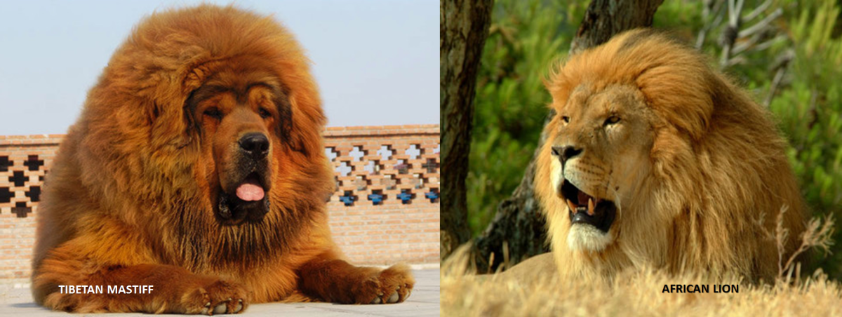 Tibetan Mastiff vs Lion