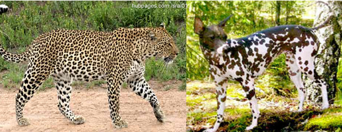 Leopard Vs Peruvian Inca Orchid Dog