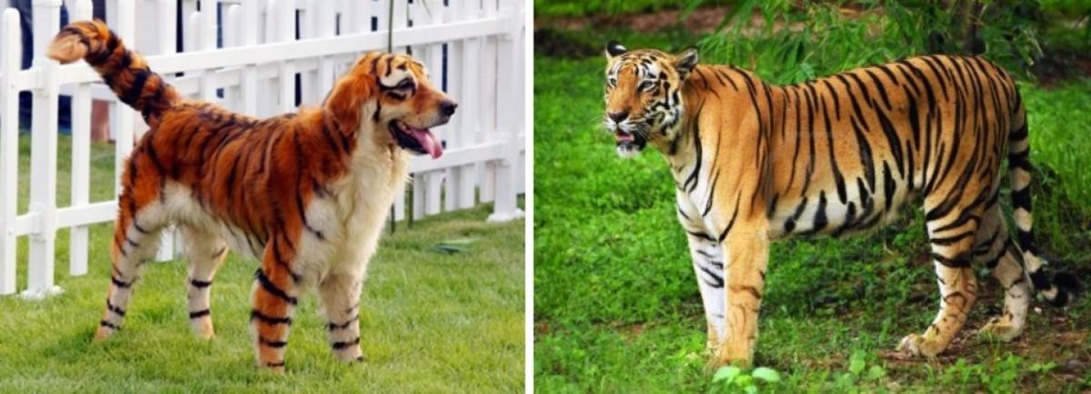 pomeranian tiger cut