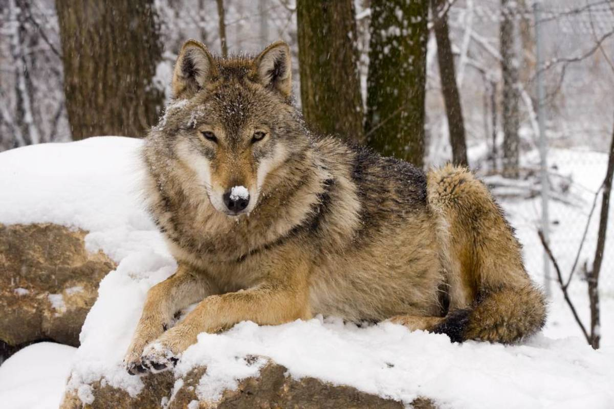 300+ Wolf Names and Meanings (From Alaska to Zion) | PetHelpful