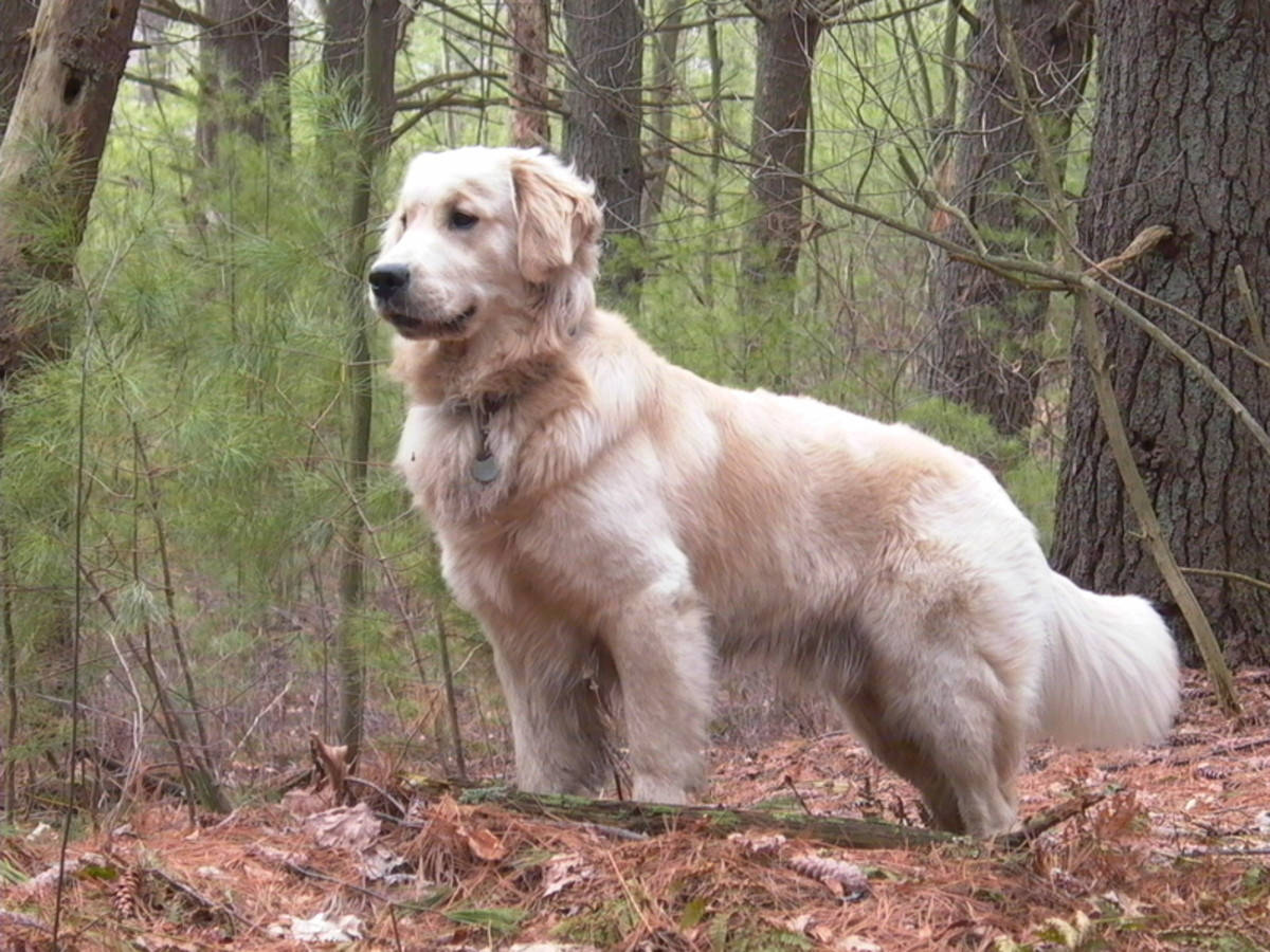 Top air scent dogs: the Golden Retriever uses air scent to work search and rescue.