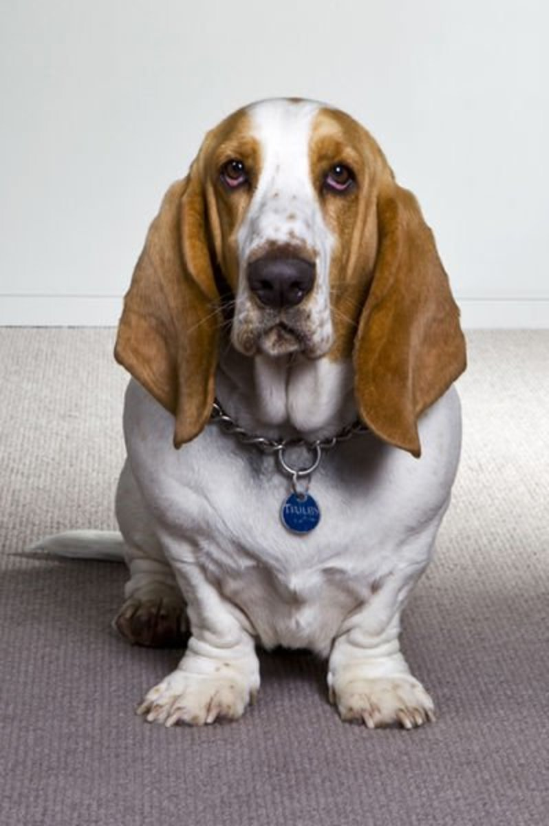 The Devoted Bassett Hound is a Close Second for the Best Scent Hound