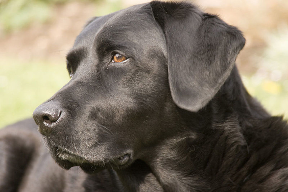 Best loved and 2nd best air scent dog. The loving lab is America's favorite dog!
