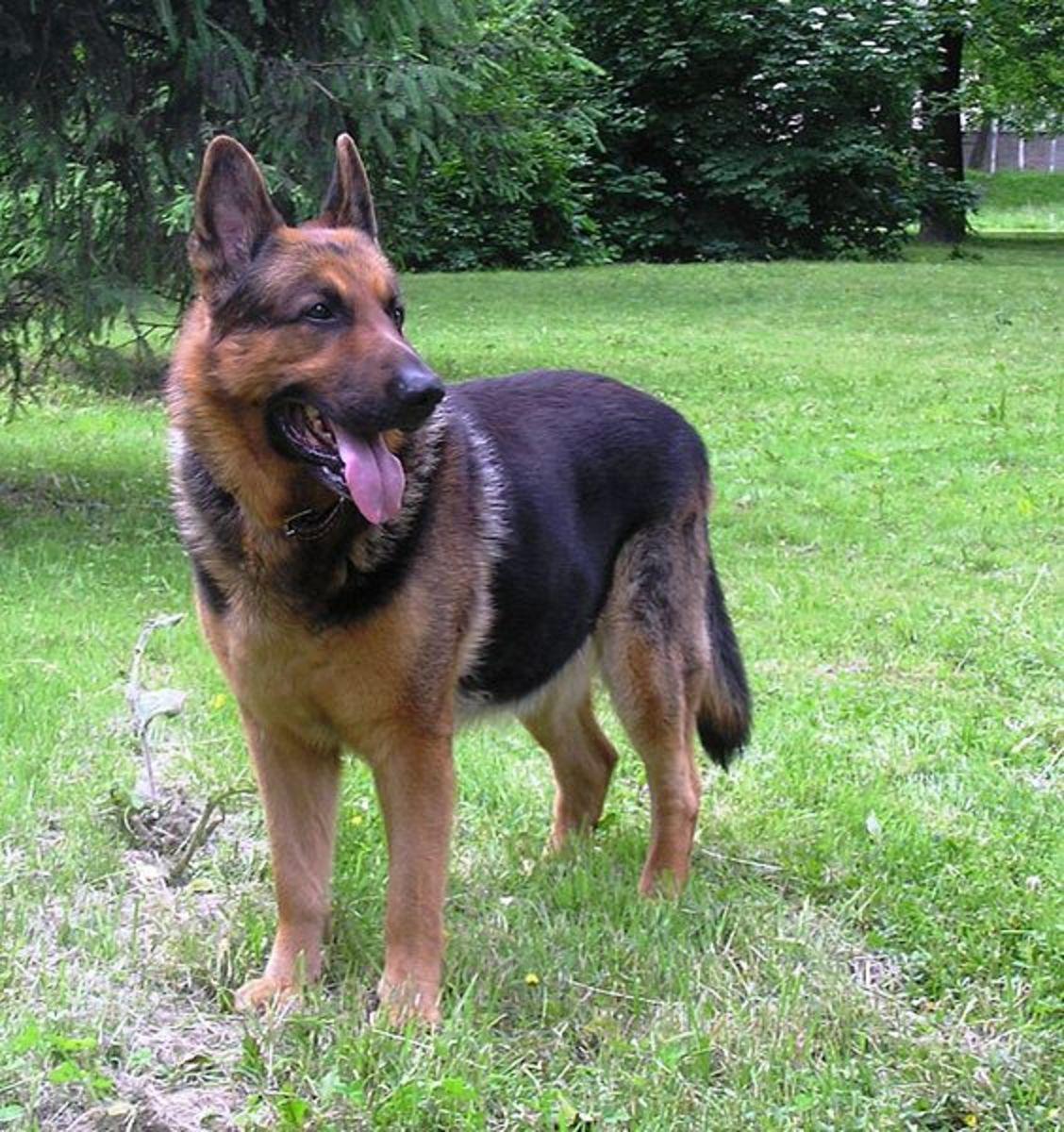 The versatile German Shepherd dog has 225 million scent receptors.