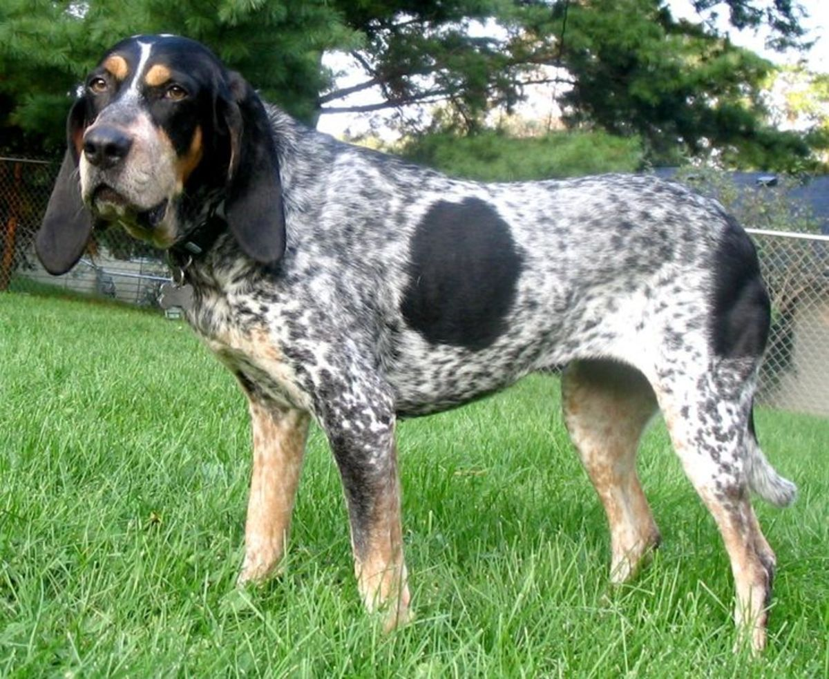 The Bluetick Coonhound is the preeminent trailing dog.