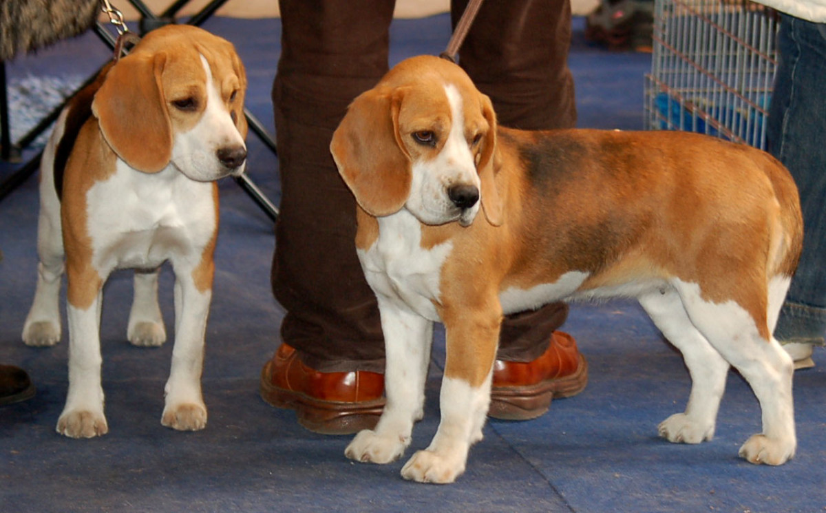The lighthearted Beagle is a scent hound that tracks its quarry.