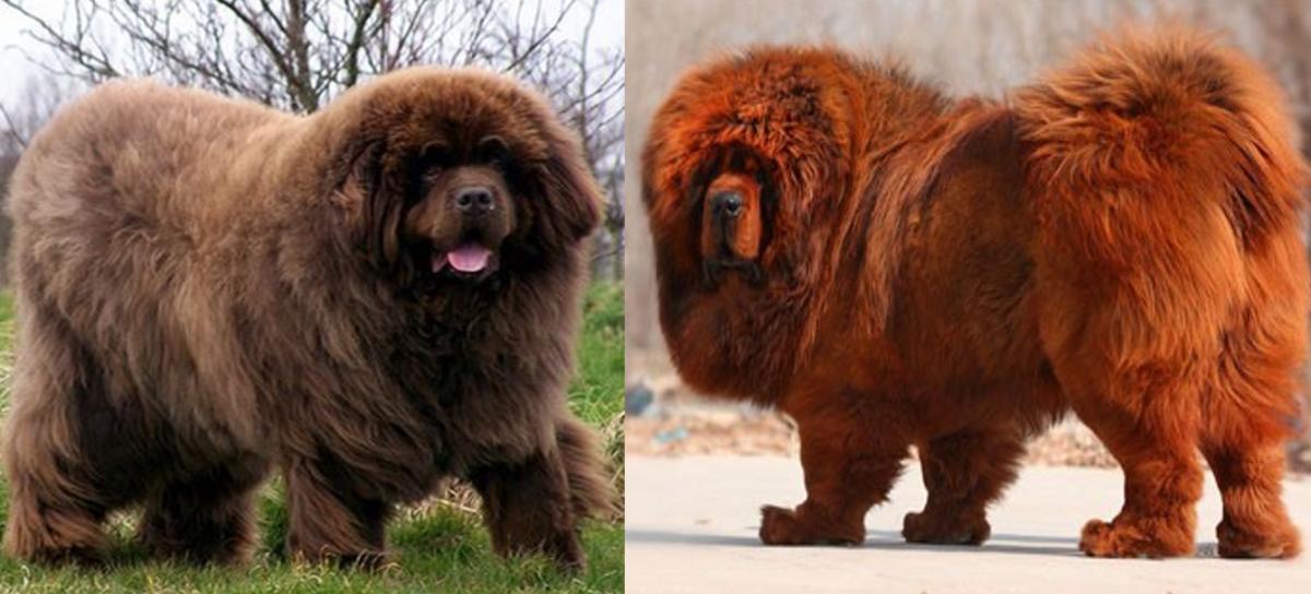 Newfoundland Dog vs. Tibetan Mastiff