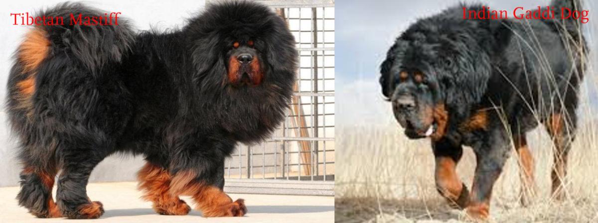 Tibetan Mastiff vs. Indian Gaddi Kutta