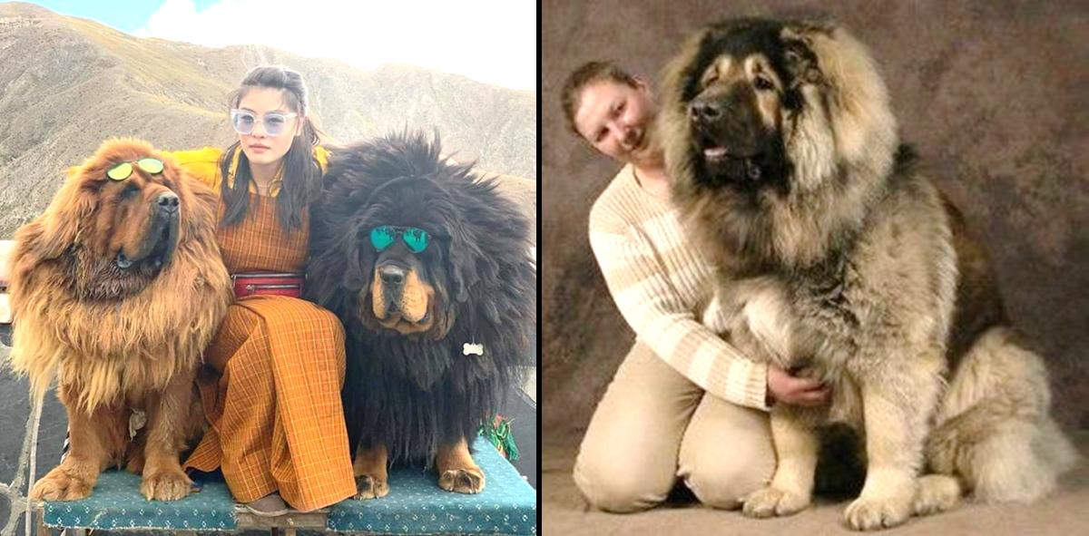 Tibetan Mastiff Vs Caucasian Mountain Dog